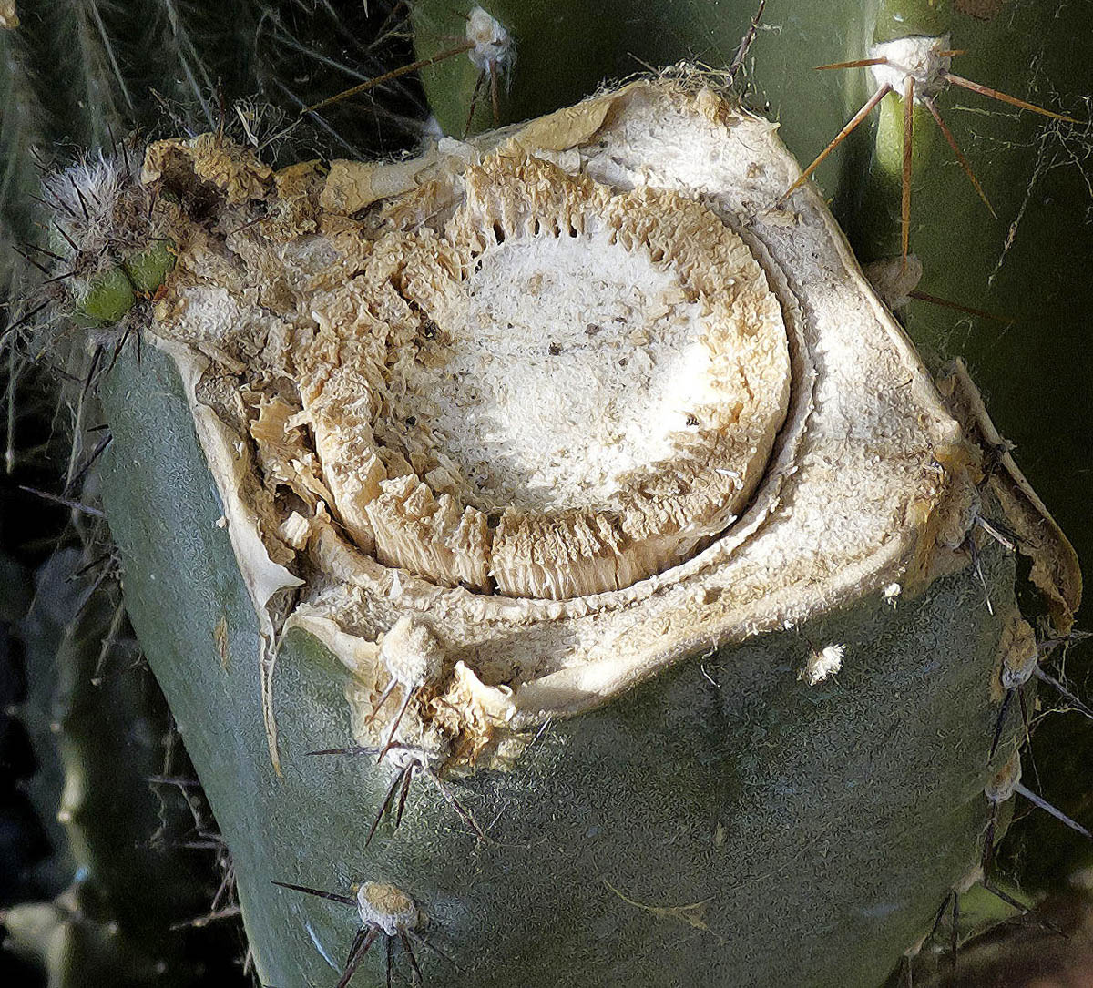 Coupe Cereus forbesii (?) (Photo F.Sampieri)