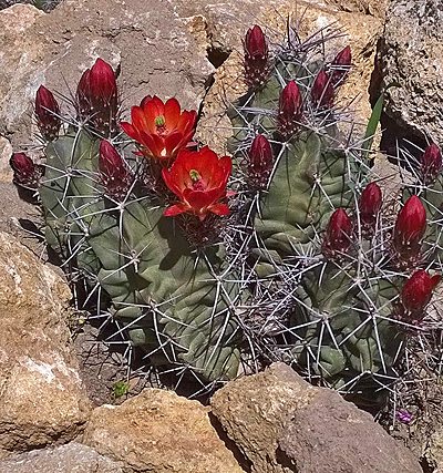 Echinocereus_triglochidiatus