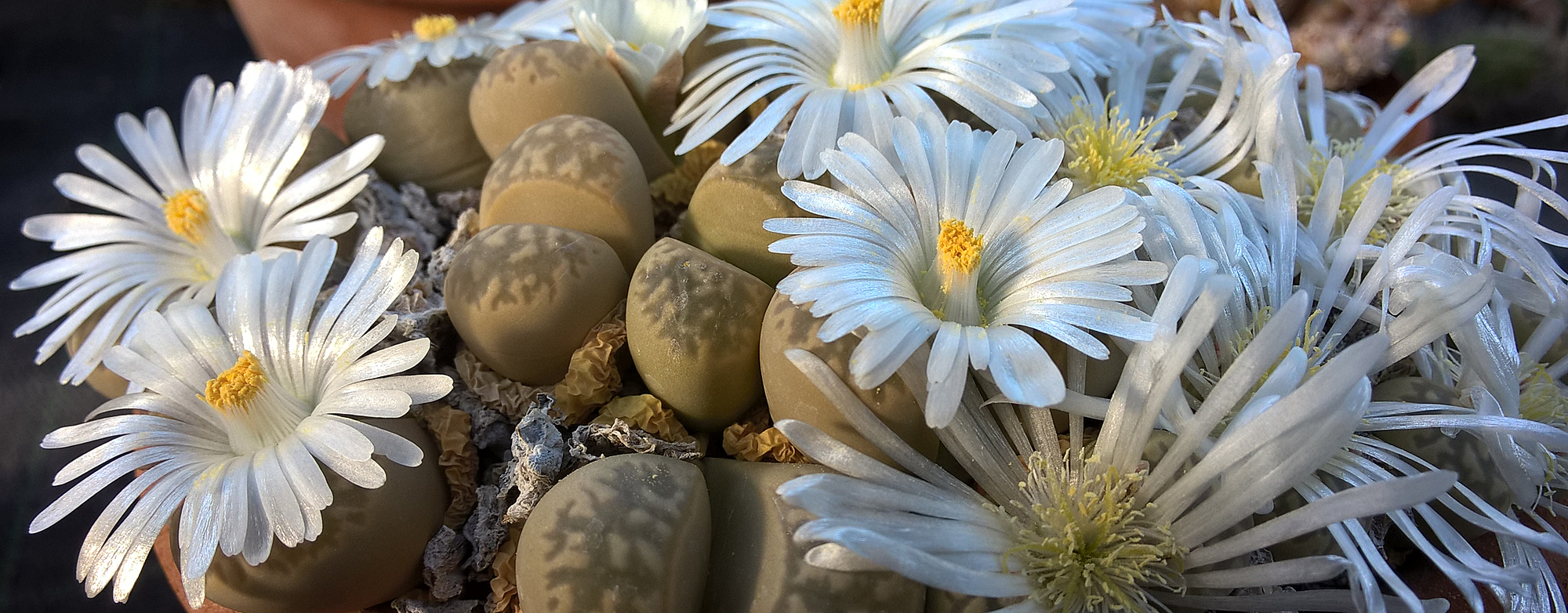Lithops sp. (Photo F.Harlay)