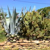 Agave americana et O. scherii (Photo J. Sampieri)