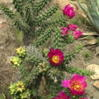 Cylindropuntia (gros-plan)