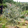 Cylindropuntia sp.