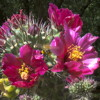 Bouquet floral Cylindropuntia