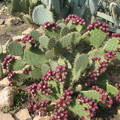 Opuntia en fruits