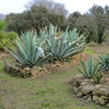 Rocaille aux agaves