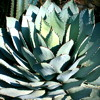 Agave parryi huachuchensis