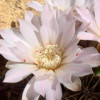 Gymnocalycium sp. (Coll. et photo Pierre Vincent)